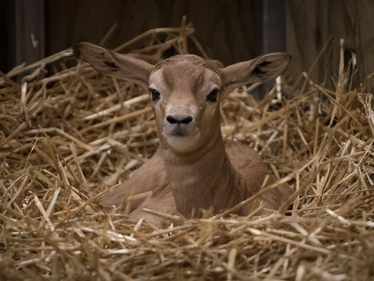 636535443981349996-Dama-Gazelle-Calf-1-2572---Grahm-S.-Jones-Columbus-Zoo-and-Aquarium-preview.jpeg