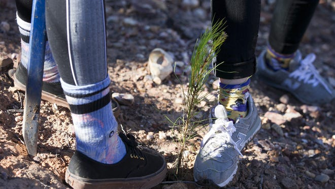 TreeFolks will continue distributing loblolly pine tree saplings to Bastrop County landowners this year after a brief hiatus. Applications for trees can be found on the organization's website.