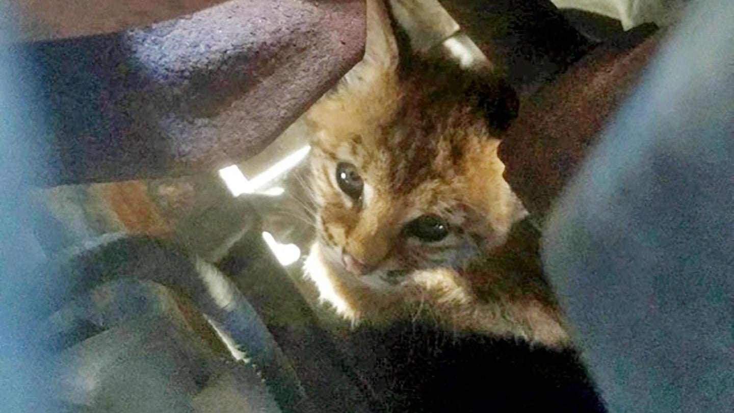 Engine Check A Hair Raising Bobcat Kitten Tale Has A Happy Ending