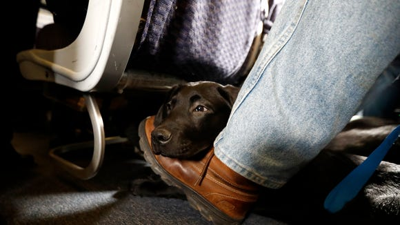 A service dog named Orlando rests April 1, 2017, on the foot of its trainer, John Reddan, of Warwick, N.Y., while sitting inside a United Airlines plane at Newark Liberty International Airport during a training exercise in Newark, N.J.