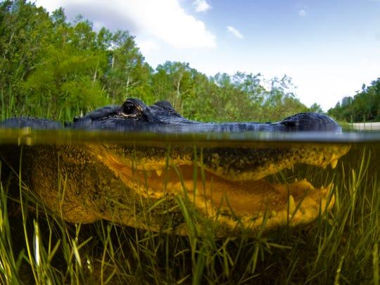 An American alligator, alligator mississipiensis, split over and under water shot in Florida Everglades.