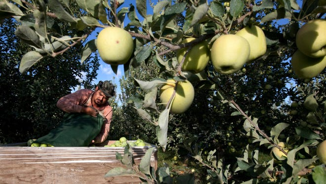In this file photo, Sergio Garcia empties a bag of just-picked golden delicious apples into a bin at a Valicoff Fruit Company orchard near Wapato, Wash. Harvesting the vast fruit orchards of Eastern Washington each year requires thousands of farmworkers, many of them working illegally in the United States. That system could eventually come to an end as at least two companies are rushing to get robotic fruit picking machines to market.