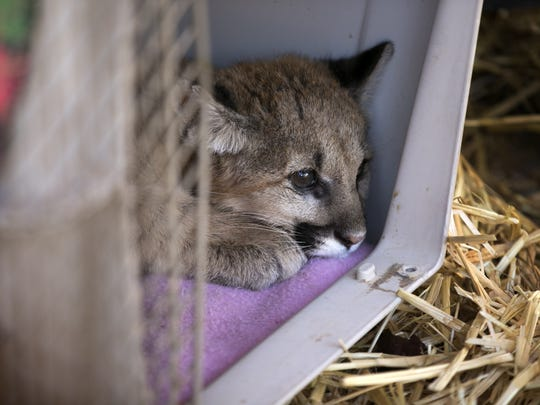 An emaciated mountain lion cub rests in a crate at
