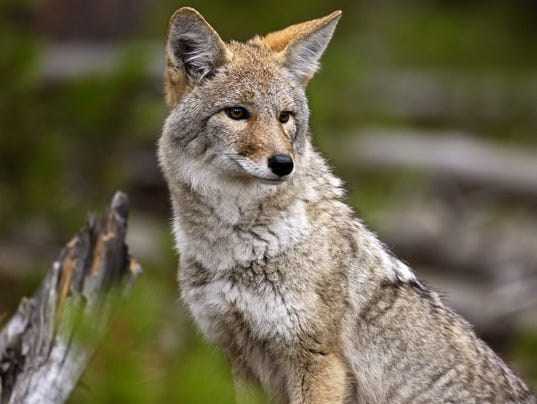 coyote found shot skinned and hanging from tree. Black Bedroom Furniture Sets. Home Design Ideas
