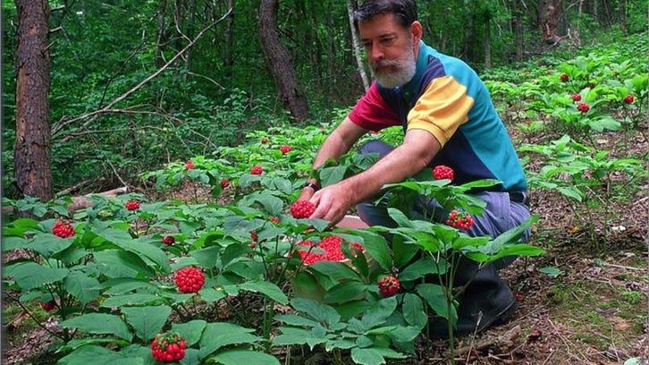 W. Scott Persons picking ginseng berries.