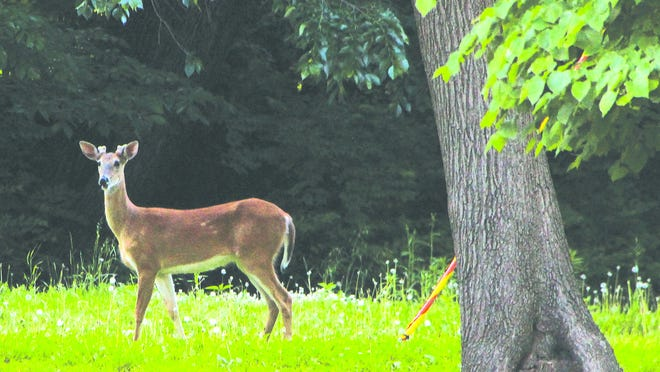 A young buck takes advantage of tasty greenery at Lemon Park in Pratt earlier this week. It is a growing season and deer are plentiful in many areas around the state.