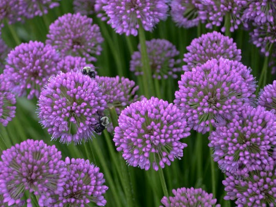 'Millenium', an ornamental onion, is the 2018 Perennial Plant of the Year. Bees and other pollinators are regular visitors to this clump grower that gets about 18 inches tall and wide and blooms mid- to late summer.
