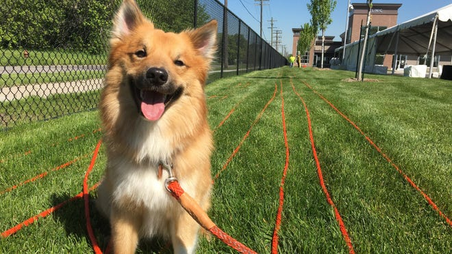 Link, a 2-year-old Icelandic sheepdog, dons a potentially world-record-breaking, 2,2621-foot leash at Michigan Humane Society on May 19, 2016 in Detroit.
