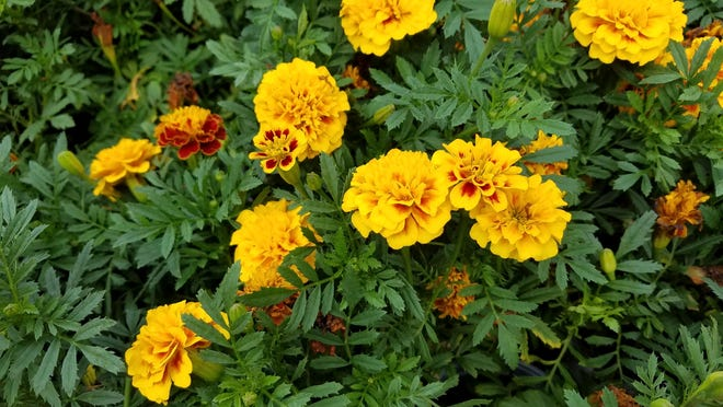 LEFT: Marigolds, being the sunny little flowers that they are, grow best in full sun. TOP: Make sure to plant colorful coleus in shady areas of your garden.