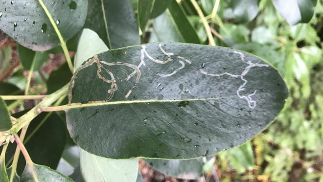 The winding patterns in the leaves of madrone trees are caused by the feeding activity of the serpentine madrona miner.