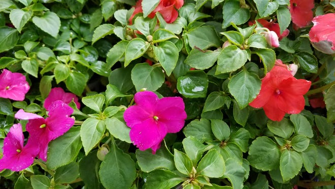 Impatiens are an annual that can be planted or sown in March.