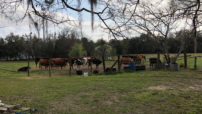 Cattle graze on the Buchanons' 70-acre-farm before its sale in March 2019.