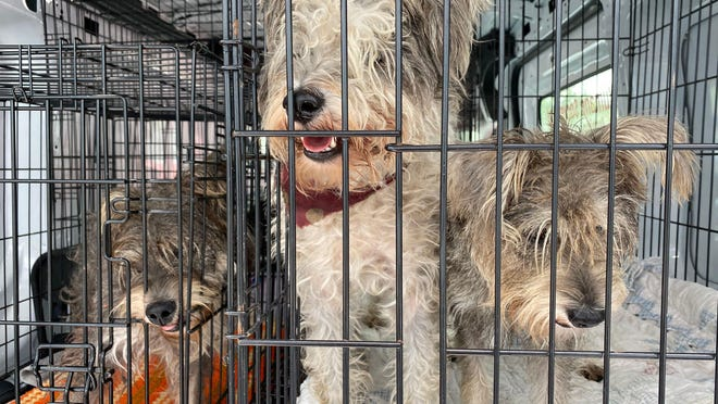 Furry Friends Adoption, Clinic & Ranch removed 13 schnauzers from a home in Miami last week. The dogs, which were living in squalor, are recovering at the organization's headquarters in Jupiter and its ranch Palm City.