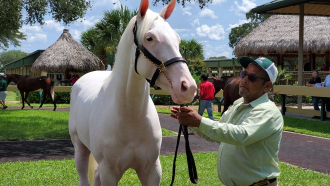 Larry Munoz handles a white thoroughbred, Hip No. 1045, a filly by Flat Out, during the last day of the Ocala Breeders' Sales July sale of 2-year-old thoroughbreds on Thursday. White thoroughbreds are unusual and the filly drew lots of attention from those around the sales ring. Consigned by Whitman Sales, the filly drew a final bid of $72,000, but did not meet her reserve price.