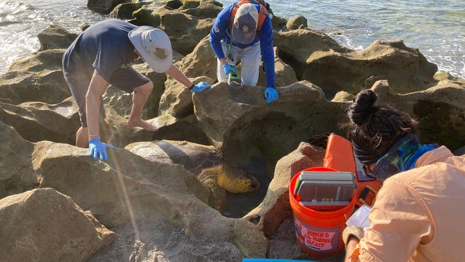 Workers at Blowing Rocks Preserve respond to a stranded sea turtle on Jupiter Island on July 1, 2020.