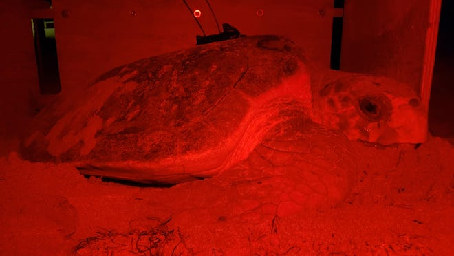Pictured is Pappas, a female loggerhead sea turtle that laid eight nests this season.