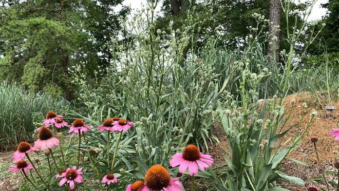 The contrasting texture of Rattlesnake Master plays nicely with coneflower in a native plant display.