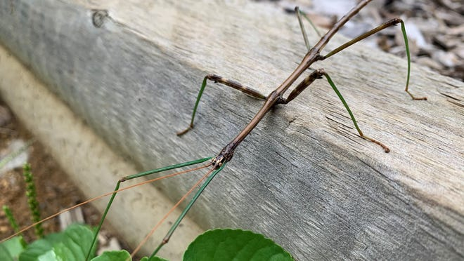 A northern walkingstick alights on a garden fence.