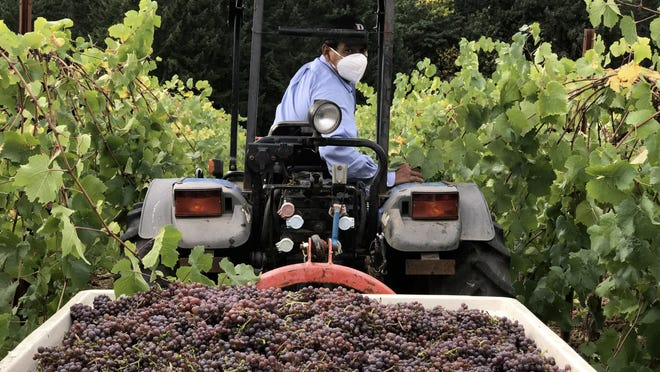 Amid 2020's challenges, wine producers harvest their grapes in late September. At Pfeiffer Winery, pinot gris is first to go in.