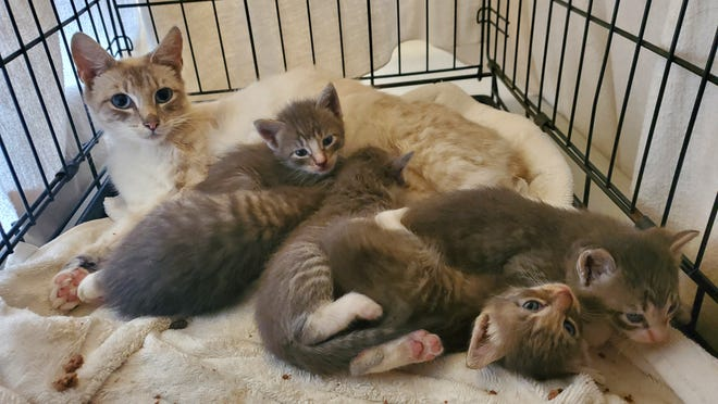 Mother cat Magnolia, and her five kittens Ash, Douglas, Scarlett, Willow, and Holly after they were rescued by a NOAH volunteer in Stoughton.