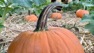 Pumpkins of various sizes are for sale in the pumpkin patch at Steed's Dairy in Grovetown.