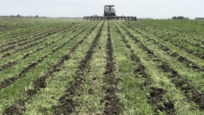 Youngquist Ag of Cameron strip-tilled established cover crops at 30-inch spacing in preparation for planting.