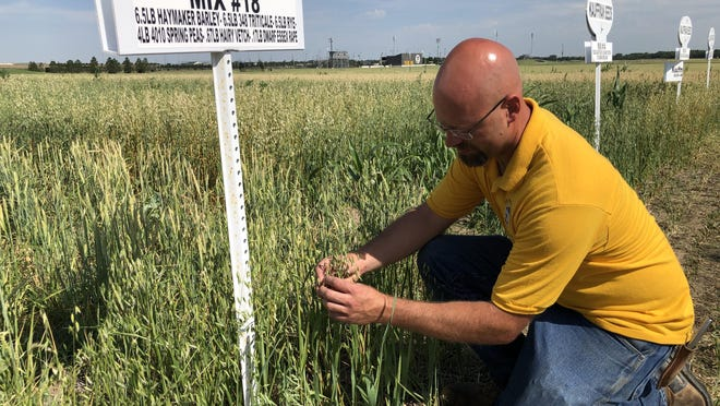 Ryan States with the Fort Hays State University farm checks a cover crop plot west of Hays along county blacktop 230th Avenue.