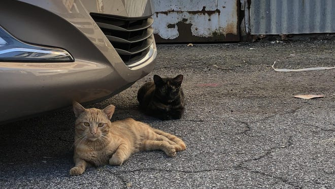 A new pilot program aims to humanely reduce the number of Chatham County's feral cats, like these seen behind a DeRenne Avenue shopping center.