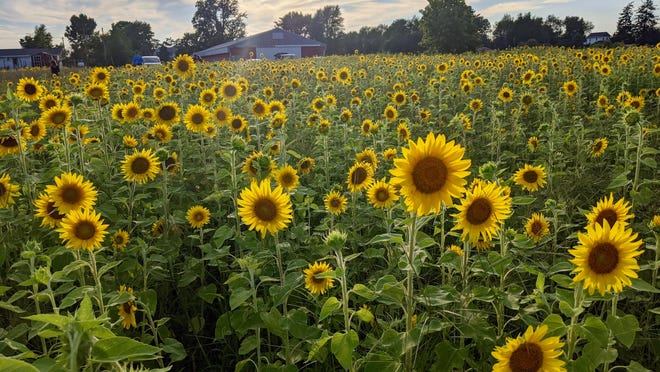 The sunflower field at Liefde Farm in Olive Township is open to the public for sightseeing and photography.