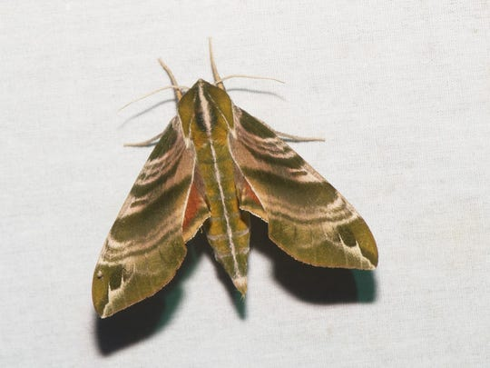 Franklin Parker Preserve in Chatsworth will host a moth-watching event on Saturday.