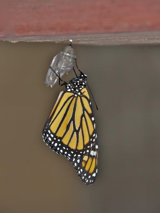 monarch emerged stone