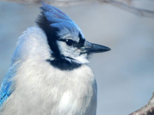 Blue jays are often counted during the Christmas Bird Count.