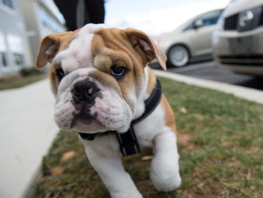 Jay is an English bulldog puppy that was given to Jaaziel