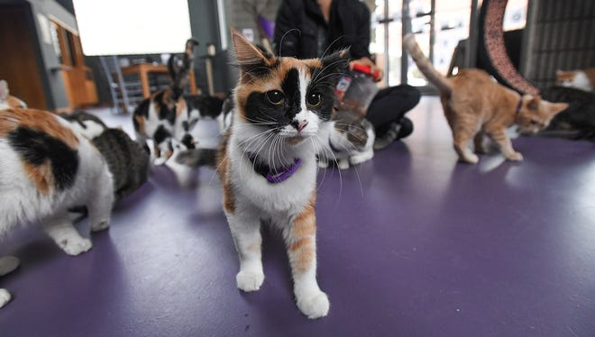 Cats at The Organic Cat Cafe in downtown Greenville on Thursday, November 9, 2017.
