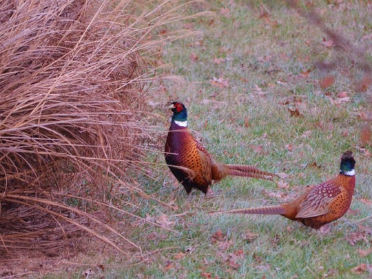More cuts are coming for Pa. Game Commission pheasant