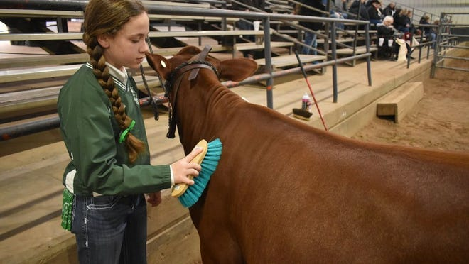 McLoud 4-H student and 12-year-old Emma Bellah grooming her heifer before competing in the Junior Live Stock Show.