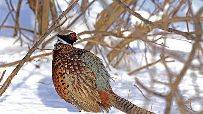 A pheasant walks through the snow in the winter in Minnesota.