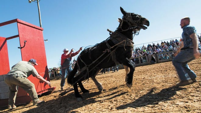 """Jason """"Jay Bird"""" Mangrum, 76, holds the reins of of his two mules during while attempting to pull 2,000 pounds of weight at the Main Arena in Maury County Park in Columbia, Tenn., on Saturday, April 2, 2016."""