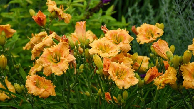 Rainbow Rhythm Orange Smoothie reaches 24 tall and has a high bud count on scapes or stalks.