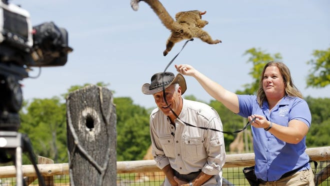 A bush baby jumps onto Jack Hanna as he records a TV segment with the help of animal programs specialist Katie Stevens and CBS video crew members Jimmy Kimmons (left) and Justin Hall beside the Africa exhibit at the the Columbus Zoo & Aquarium on May 29, 2018. Hanna, 73, is retiring as the zoo's director.