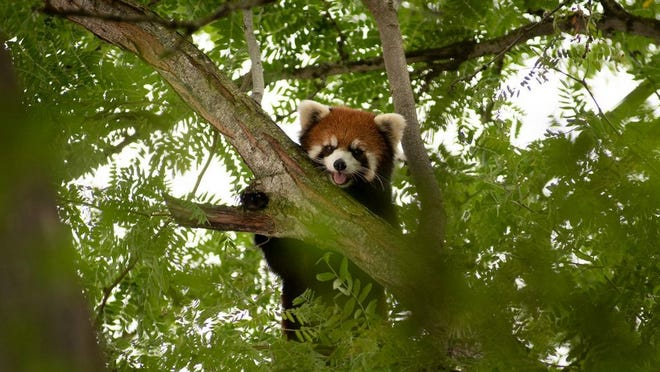 Kora, the red panda who was missing on July 22, is shown before she was tranquilized and brought down from a tree on the Columbus Zoo and Aquarium grounds Thursday evening, July 23.