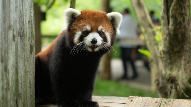 This is a picture Kora, the 2-year-old red panda discovered to be missing from the Columbus Zoo and Aquarium.