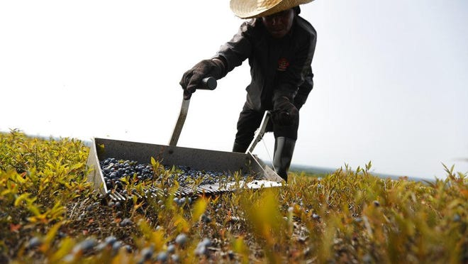 In this August 2018 photo, a worker rakes wild blueberries at a farm in Union, Maine.