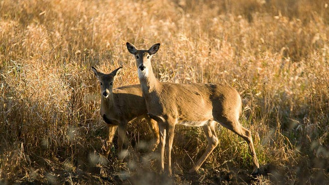 A white-tailed deer doe and fawn. Columbia is offering training for bow hunters who wish to participate in a managed deer hunt within city limits.