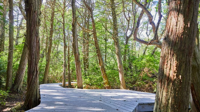 The Atlantic White Cedar Swamp Trail in Wellfleet recently reopened to the public after repairs were made to the boardwalk. The new trail surface is made from recycled materials that were selected for their structural integrity and environmental compatibility.