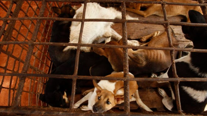 Dogs lay in a cage in a slaughterhouse as they wait for the FOUR PAWS International, rescue them at Chi Meakh village in Kampong Thom province north of Phnom Penh, Cambodia, Wednesday, Aug. 5, 2020. Animal rights activists in Cambodia have gained a small victory in their effort to end the trade in dog meat, convincing a canine slaughterhouse in one village to abandon the business.