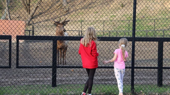 A pair of Ramsey Park zoo visitors lured in one of the elk with some carrots.