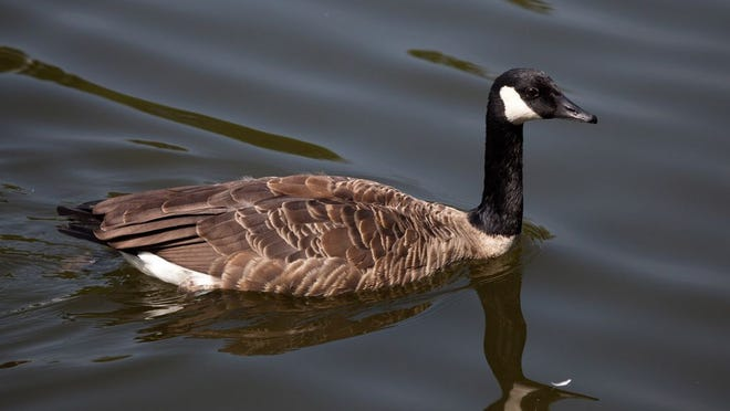 The survey showed a 72 percent increase in Canada goose hunters from 2018 to 2019.