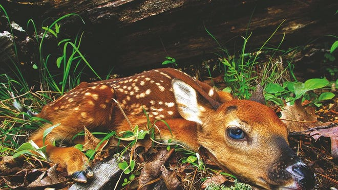 Fawns and other baby wildlife are usually best left alone.