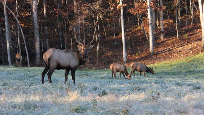 Elk were re-established in Missouri at Peck Ranch Conservation Area in 2011, drawing from herds in Kentucky. Credit: Wes Johnson/Springfield News-Leader
